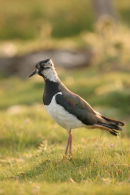 06-6667 Lapwing Vanellus vanellus, Teesdale County Durham