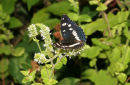 06-7709 Southern White Admiral (Limenitis reducta) Loire Valley, France