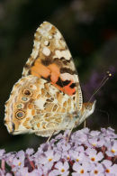 06-7771 Painted lady Butterfly (Vanessa cardui).