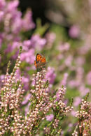 06-8207 Small Copper Butterfly (Lycanena phlaeas) on Heather