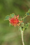 06-8875  Robin's Pincushon Gall on Dog Rose Caused by Gall Wasp (Diplopepis rosae)
