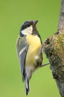 06-8978a Great Tit (Parus major).
