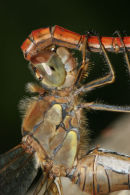 06-9672 Close up of Common Darter (Sympetrum striolatum) Mating.