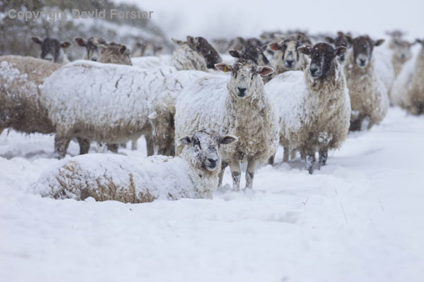 06D-2661 Sheep coping with the heavy snowfall and blizzards Teesdale County Durham.