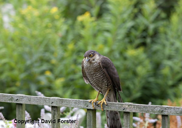 06D-2708 Sparrowhawk Accipiter nisus in Garden Environment England UK.