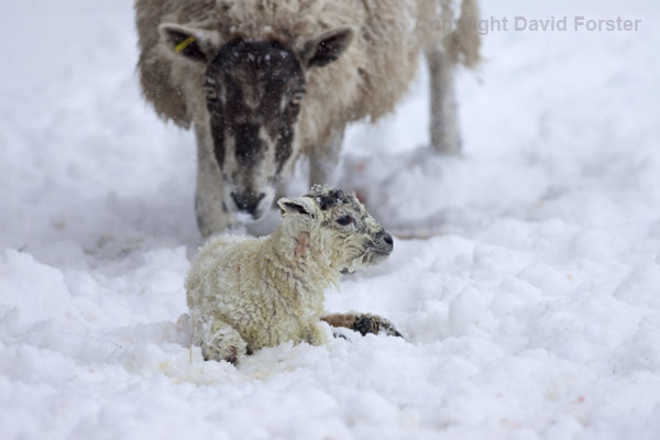 06D-2746 Mother and Newborn Lamb in Snow Teesdale County Durham