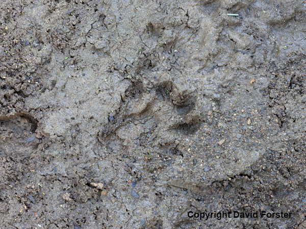 06D-5164 Otter Lutra lutra paw print in Mud Teesdale
