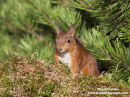06D-5489a Red Squirrel Sciurus vulgaris North Pennines England UK