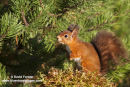 06D-5802 Red Squirrel Sciurus vulgaris North Pennines England UK