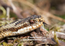 06D-8750 Adder Vipera berus Sensing with Tongue Teesdale County Durham UK