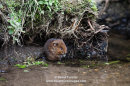 06D-9383 Water Vole Arvicola amphibius Teesdale North Pennines County Durham UK