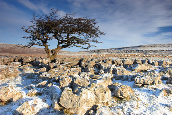 07-0900 Winter Hawthorn Tree, Scales Moor, Yorkshire Dales