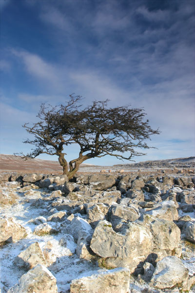 07-0909 Winter Hawthorn Tree, Scales Moor, Yorkshire Dales.