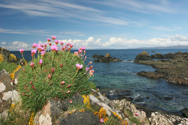 07-1607 Thrift (Armeria maritima) growing on the Island of Mull.