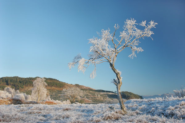 07-4529 Hoar Frosted Trees Near Loch Eil Lochaber Scotland