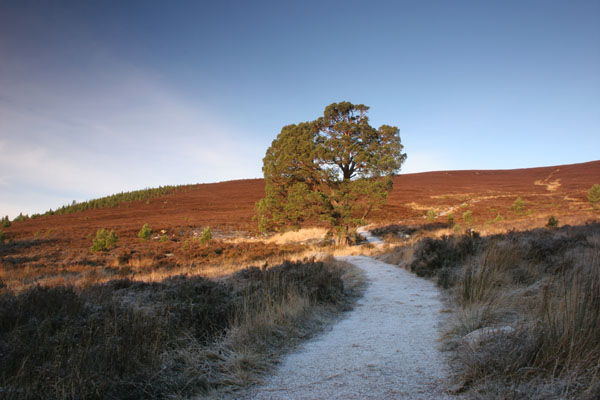 07-4659 Scots Pine Pinus sylvestris and Frozen Track Meall a' Bhuachaille Cairngoms Scotland