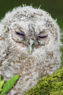 08-0343 Sleepy Tawny Owl Chick (Strix aluco)