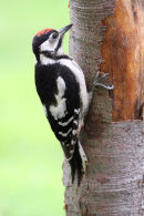 08-4579 Great Spotted Woodpecker Dendrocopos major