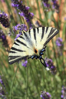 09-2972 Scarce Swallowtail Iphiclides podalirius Butterfly Camargue France