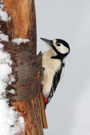 09-8874 Female Great Spotted Woodpecker Dendrocopus major Foraging on Snow Covered Tree Trunk