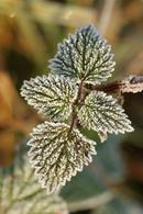 1033 Frost Coated Blackberry Leaves (Rubus fruticosus).