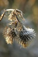 1049 Frost Coated Thistle Head