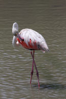 11-3414 Greater Flamingo Phoenicopterus ruber Preening Camargue France