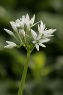 5523 Wild Garlic (Allium ursinum)