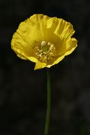 6947 Yellow Poppy (Meconopsis cambrica)