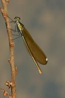 8627 Female Beautiful Demoiselle Damselfly (Calopteryx virgo)