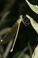 8637 Female Beautiful Demoiselle (Calopteryx virgo)