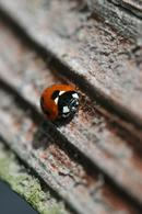 9841 7 Spot Ladybird (Coccinella 7-punctata) On Tree Growth Rings.