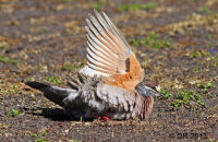 Common Bronzewing bathing under a sprinkler