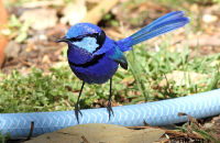 (1) Splendid Fairy-wrens