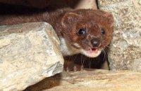 (i) Weasel (Mustela nivalis)