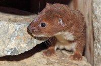 (ii) Weasel (Mustela nivalis)