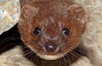 (iii) Weasel (Mustela nivalis)