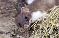 (i) Young Stoat (Mustela erminea)