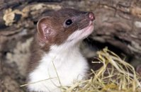 (ii) Young Stoat (Mustela erminea)