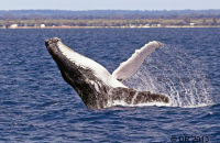 (1) Humpback Whale breaching (sequence of 4 images)