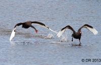 Black Swans fighting