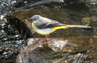 (1) Grey Wagtail in Dowles Brook, Wyre Forest
