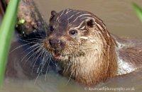 (i) European Otter (Lutra lutra lutra)