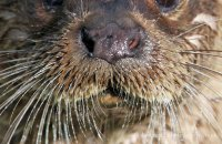 (v) European Otter in close-up (Lutra lutra lutra)