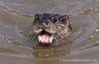 (vi)  European Otter (Lutra lutra lutra)