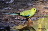 Elegant Parrot drinking