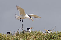 Crested Terns nesting on Penguin Island, W.A.