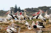 (3) Penguin Island Pelican rookery