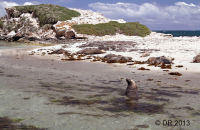 Australian Sealions enjoying the beach