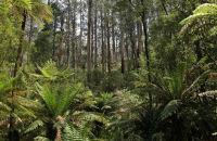 Sherbrooke Forest, Dandenong Ranges, Victoria